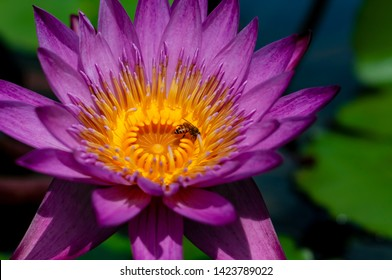 Honeybee Pollinating a Water Lily (Nymphaea nouchali). This plant is important and well-known medicinal plant, widely used in the Ayurveda.