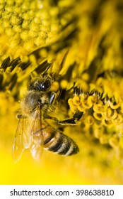 the honeybee rested on a sun flower, close up.