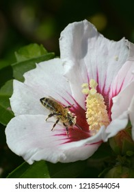 Honeybee while pollinating
