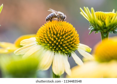 Honeybee At Work Collecting Pollen From Coneflower