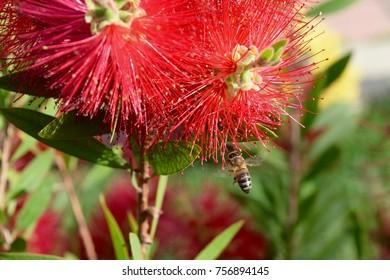 Honeybee Working Hard