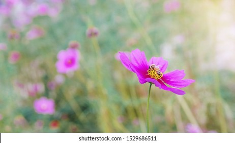 Honeybee working on pink cosmos flower in beautiful spring morning flower field blurred nature background.