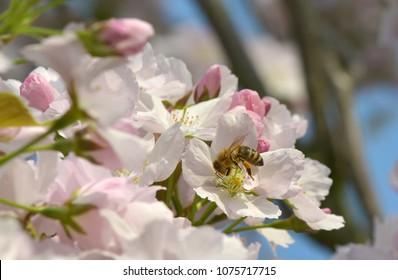 Honeybeen on cherry blossom
