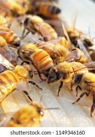 honeybees in the hive