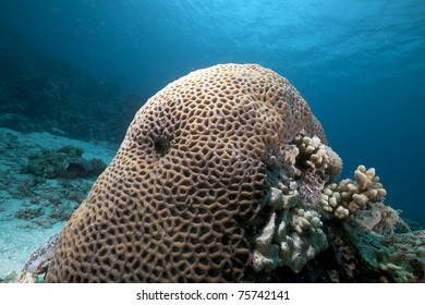 Honeycomb coral in the Red Sea.