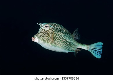 Honeycomb Cowfish (Acanthostracion polygonius) swimming over a coral reef - Bonaire