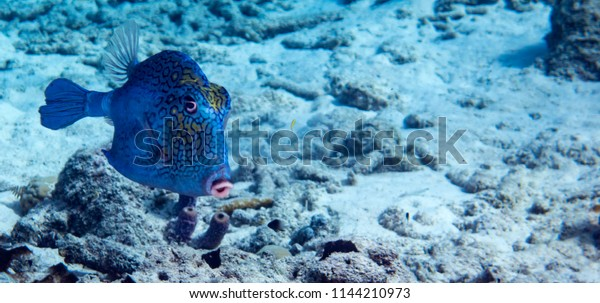 A honeycomb Cowfish swimming in tropical waters of Bonaire in the Caribbean