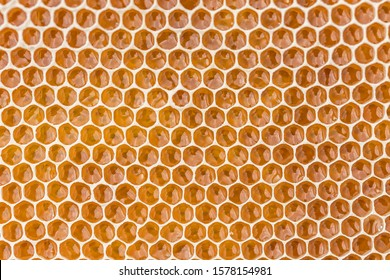 Honeycomb filled with fresh golden honey. Hexagonal texture. Real fresh honeycomb texture pattern. Honeycomb macro photography consisting of beeswax. Honeybee cells filled with fresh honey.