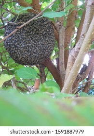 Honeycomb hanging from the mulberry tree in the garden. Bees are social animals that nest together and help each other find nectar to feed the embryo. Chiang Mai Thailand.