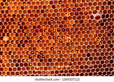 Honeycomb with honey and pollen. Close-up shooting.