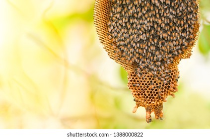 honeycomb on tree nature and swarm honey bee on comb beehive