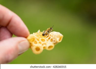 Honeycomb with queen cell from Illegal building with bee
