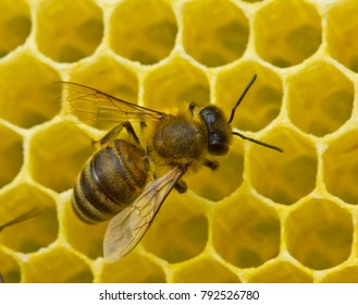 Honeycomb size corresponds to the size of the larvae of future bees