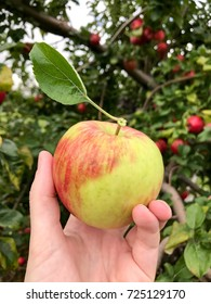 A honeycrisp apple being held in front of orchard