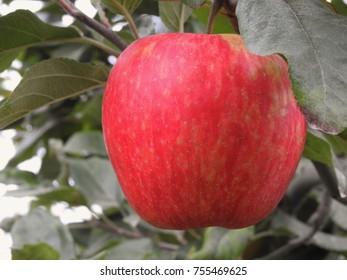 Honeycrisp apple hanging on tree