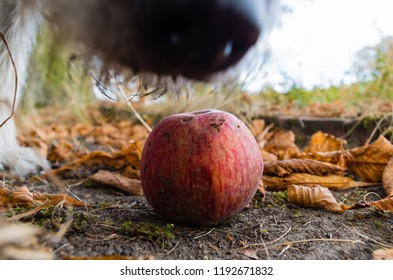 Honeycrisp apple on ground.