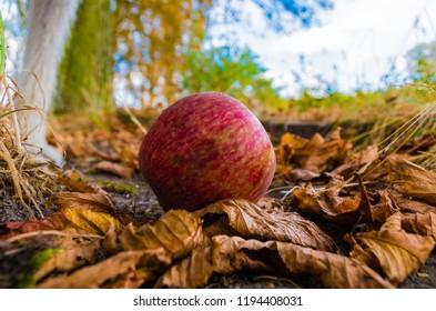 Honeycrisp apple on leaf.