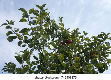 Honeycrisp apples growing on a tree with leaves and blue sky background