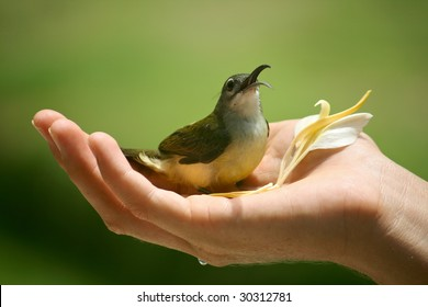 Honey-eater Bird in cupped hand with flower