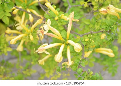 Honeysuckle arching shrubs or twining vines in the Caprifoliaceae family, with sweetly scented, bilaterally symmetrical flowers producing a sweet, edible nectar, and most flowers are borne in cluster
