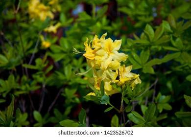 Honeysuckle azalea. Blooming of yellow  azalea in the garden. Yellow rhododendrons flowers backgrouwnd