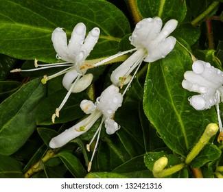 Honeysuckle blossoms (lonicera albiflora), California