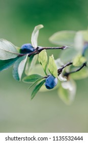 Honeysuckle blue berries with leaves isolated on nature green background