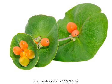 Honeysuckle Branch with Berries Isolated on White Background