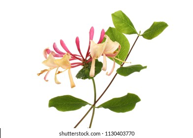 Honeysuckle flower and foliage isolated against white