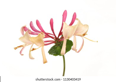 Honeysuckle flower and leaf isolated against white