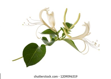 honeysuckle with flowers and leaves isolated on white background