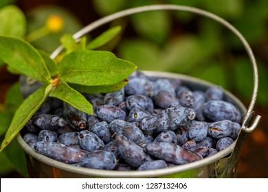 Honeysuckle raw berries in bowl. Blue honeysuckle (Lonicera caerulea edulis, Honeyberry, Blue-berry honeysuckle, Sweetberry & Haskap berry. Ripe organic honeyberry harvest from berry farm in Finland