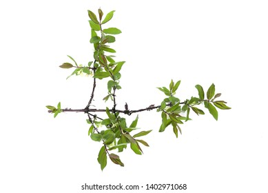 Honeysuckle tree branch isolated on a white background.