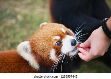 Hong Kong, China - September 14, 2012: Unidentified person feeds red panda in a zoo in the Ocean Park in Hong Kong, China.