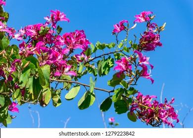 Hong Kong Orchid Tree (Bauhinia × blakeana) - Topeekeegee Yugnee (TY) Park, Hollywood, Florida, USA