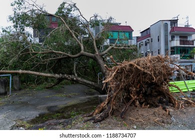 Hong Kong, September 17th 2018:  A  fallen tree after Super Typhoon Mangkhut tore through Hong Kong on 16th September 2018.