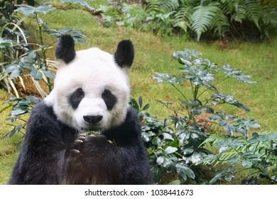 HONG KONG-FEBRUARY 10, 2018: A giant Panda eats his breakfast at the Ocean Park.