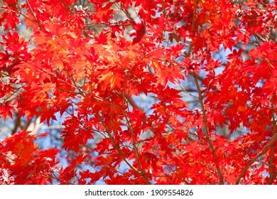 Hongcheon, Ginkgo Forest in Autumn.