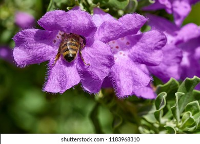 Honie bee polinating deep inside a purple flower over soft Green foliage background. Close up
