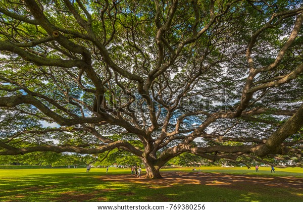 Honolulu, Hawaii - November 26, 2017: Moanalua Gardens is the site of a four million dollar monkeypod tree, simply known as The Hitachi Tree