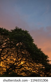 Honolulu Sunrise against a Hawaiian Monkey Pod Tree in the Manoa Valley.