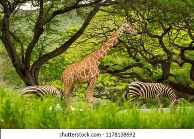 Honolulu Zoo Giraffe