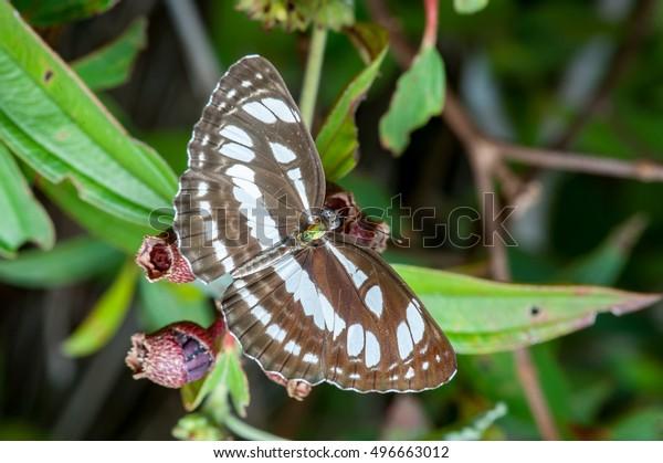 Bộ sưu tập cánh vẩy 5 - Page 18 Honshu-white-admiral-butterfly-limenitis-600w-496663012