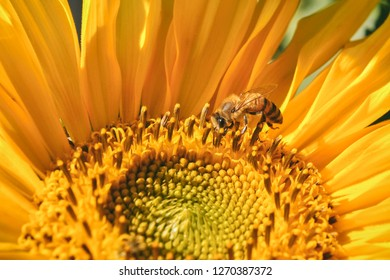 Hony bee on a sunflower
