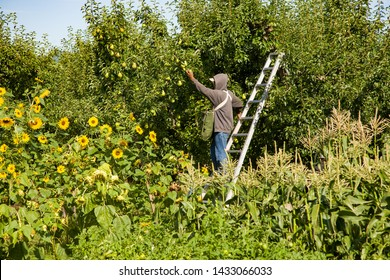 Hood River, Oregon - 8/23/2008: a migrant farm worker picking pears at an orchard in Hood River Valley