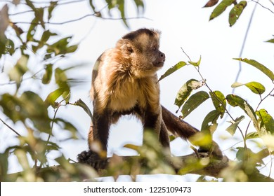 Hooded Capuchin, Cebus apella, in the nature habitat, Pantanal, Brazil