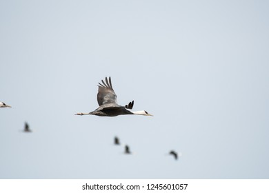Hooded crane flying in Izumi city, Kagoshima, Japan.