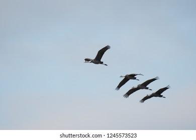 Hooded cranes flying in Izumi city, Kagoshima, Japan.
