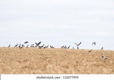 Hooded crow, crow, Corvus cornix