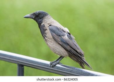 Hooded Crow (Corvus cornix) - Alesund, Norway